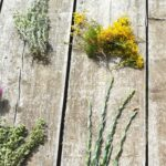 skopelos herbs